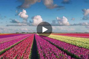 Olanda: un meraviglioso volo sui tulipani in fiore. Qui il video